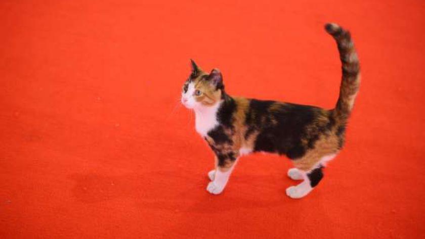 قطة مهرجان القاهرة