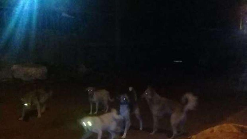 الكلاب الضالة