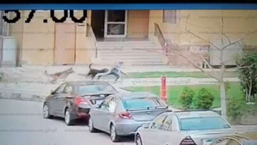 الكلبان أثناء مهاجمة الطفل