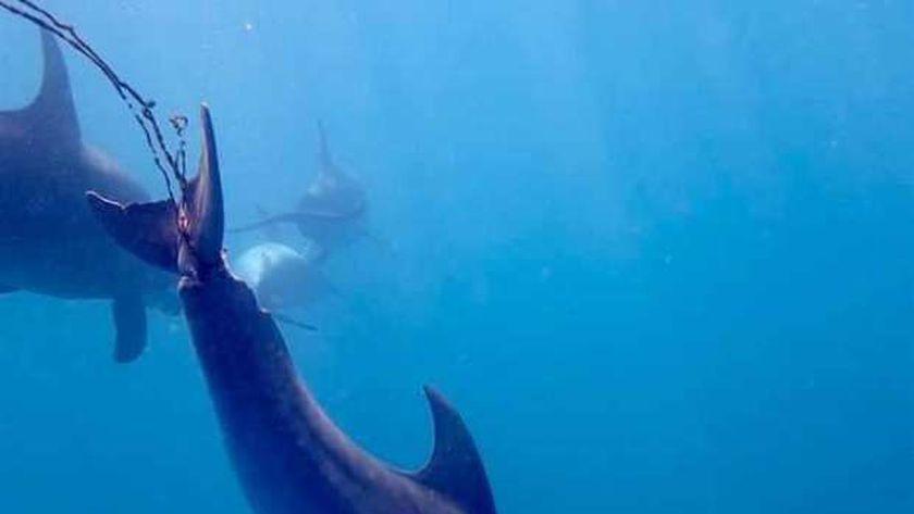البحث عن دولفين لإنقاذه من خيوط الصيد بالغردقة