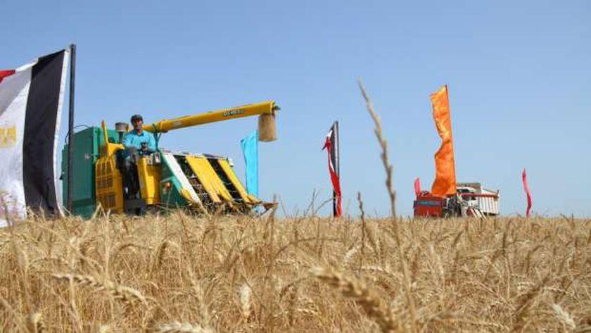حصاد القمح بالإسماعيلية