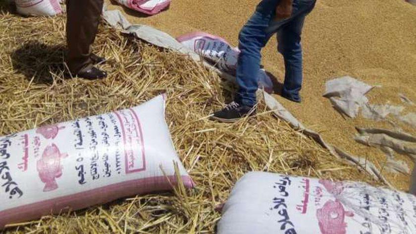 حصاد الفول والقمح بكلية زراعة كفر الشيخ وسط اجراءات احترازية