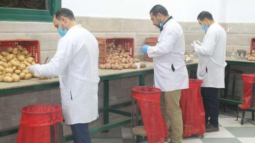 محصول البطاطس