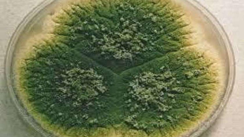 الفطر الأخضر