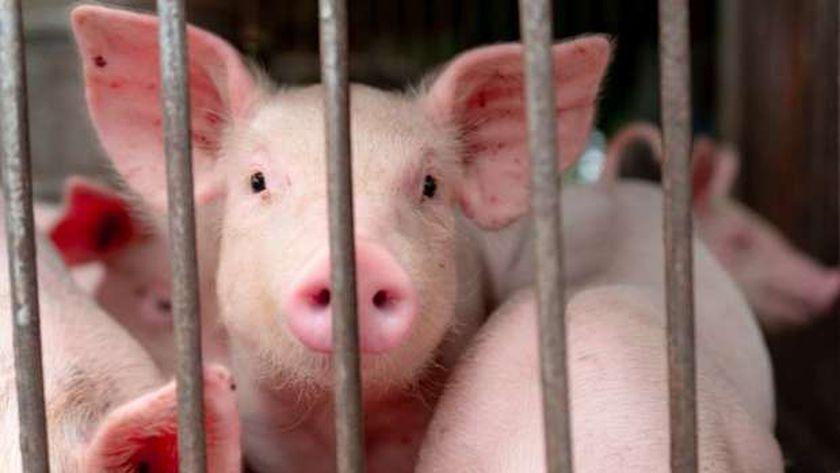 وقف ذبح لخنازير بالمجازر