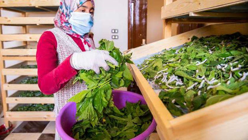 تربية دوة القز لإنتاج الحرير في الصعيد