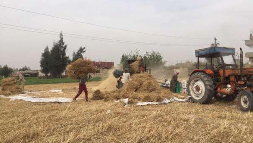 دراس القمح في الدقهلية - أرشيفية