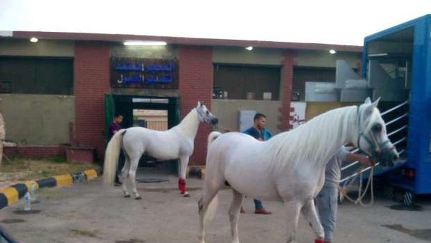 خيول عربية