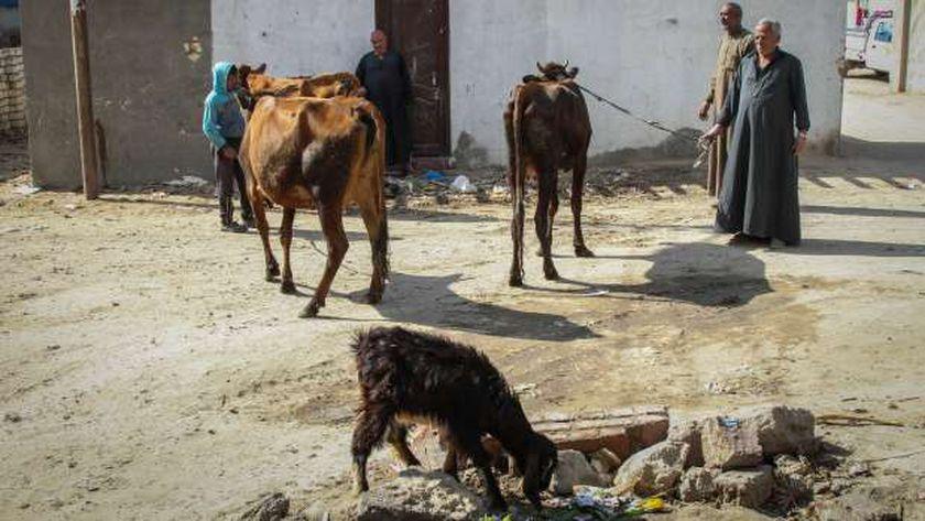 مربو الماشية فى القرى