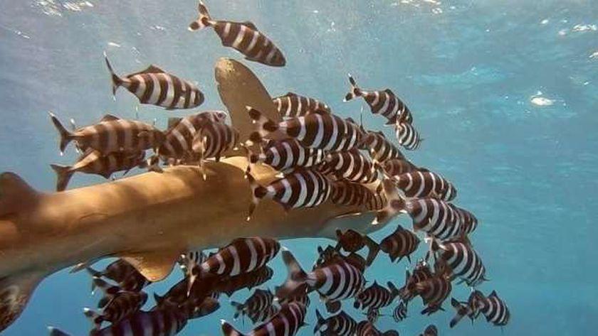 القرش المتهم في حادث الهجوم