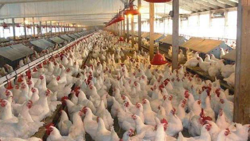 مزرعة دواجن تطبق معايير الأمان الحيوي
