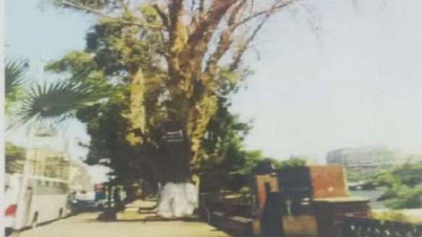 إزالة أشجار الكافور
