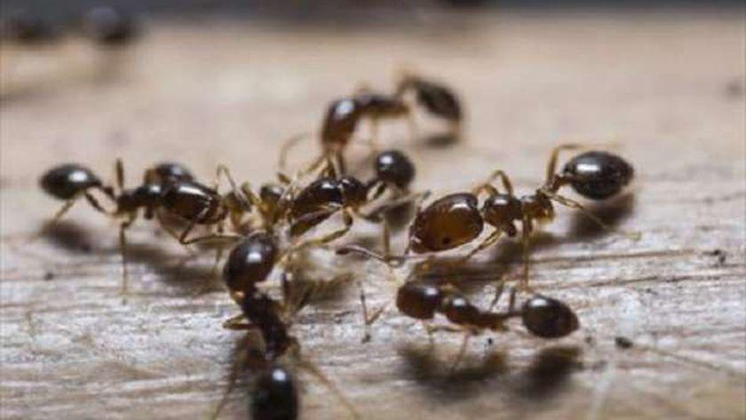 صف النمل