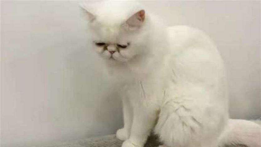 صورة متداولة لإحدة القطط المصابة بكورونا