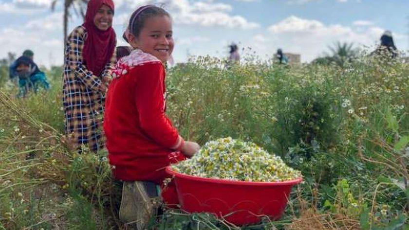 عُثر على زهوره في قلادة توت عنخ آمون.. الكاموميل زينة حقول الفيوم بالفيوم