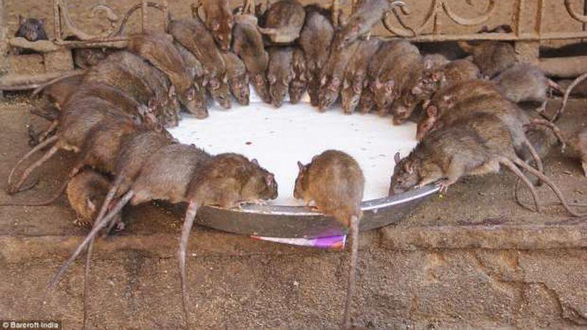 إطلاق حملة لمكافحة القوارض من الفئران لحماية محصول القمح