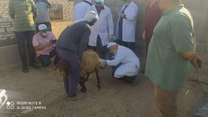 تلقيح الحيوانات في جنوب سيناء