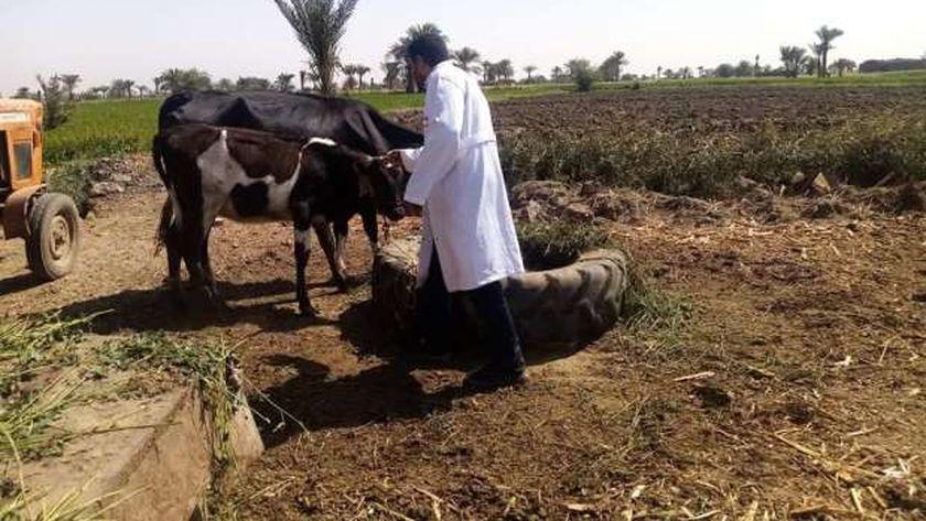 الزراعة: تحصين أكثر من 3 ملايين جرعة ضد الحمى القلاعية والوادي المتصدع