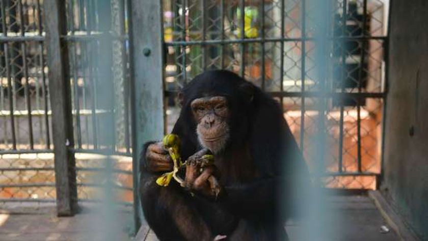 قرد في حديقة حيوان الجيزة يتناول الموز