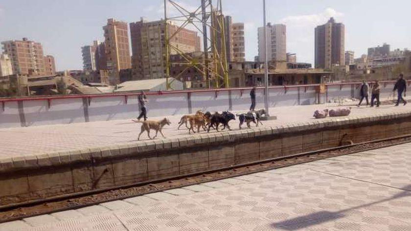 كلاب ضالة وحمار برصيف محطة قطارات المحلة