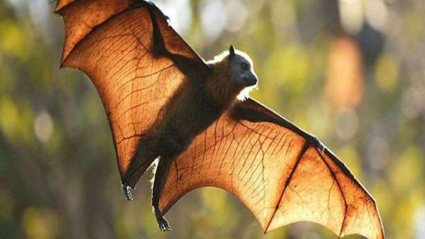 الخفافيش بداية أزمة كورونا ونهايتها