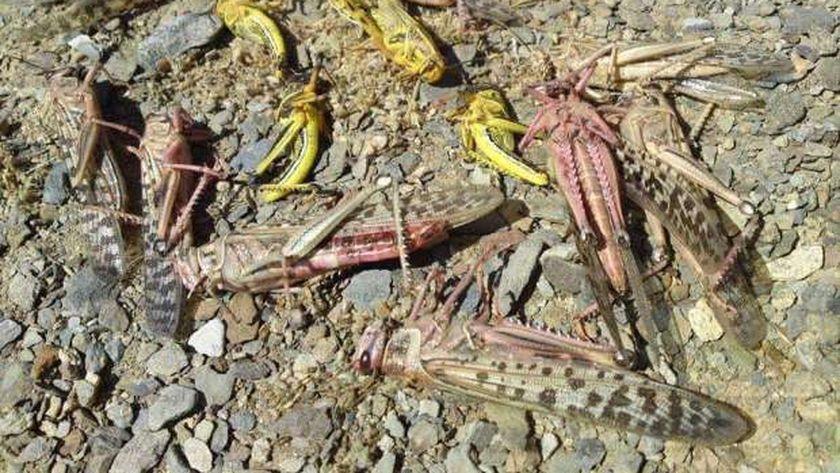 استمرار أعمال مكافحة الجراد جنوب اسوان