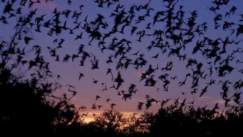 خفافيش الردي - صورة أرشيفية