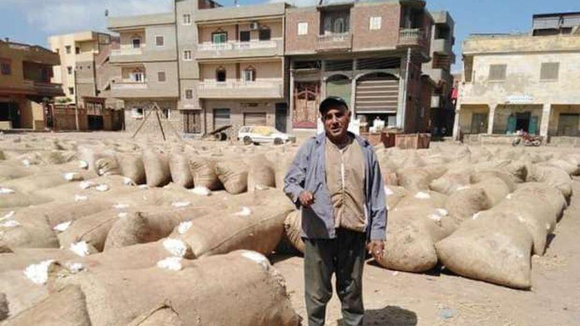 محصول القطن في كفر الشيخ