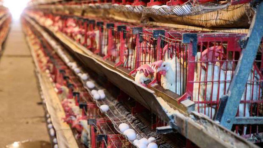 أسعار البيض