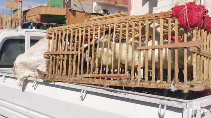 رغم قرار حظر بيعها.. ضبط عشرات الطيور الحية في سوق الأربعاء بإدفو