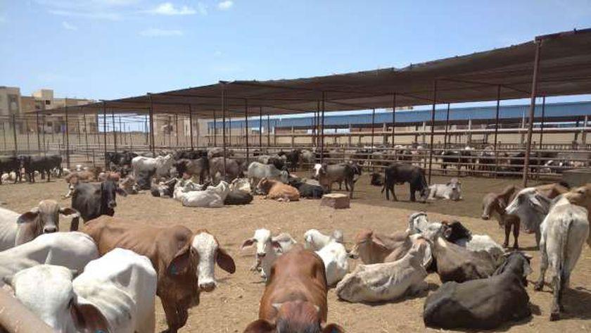 تسمين الماشية ببورسعيد