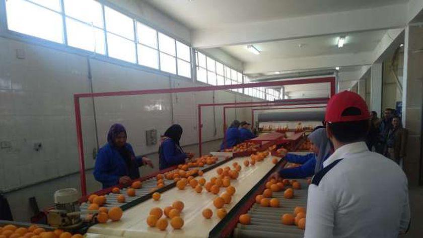 محطة لفرز البرتقال في إحدى المزارع المصرية - أرشيفية