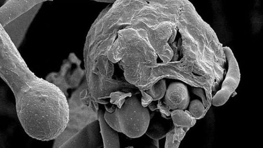مرض الفطر الأسود ـ صورة أرشيفية